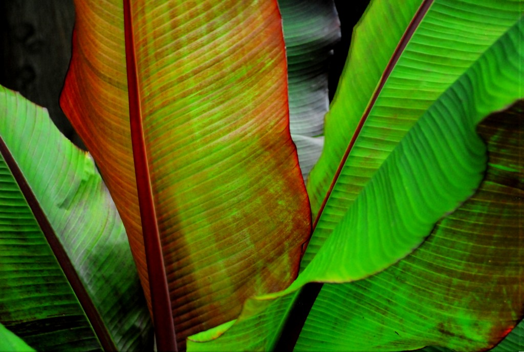 Banana Tree, Mo. Botanical Garden | St. Louis, MO | 07.04.14 |Nikon D200 | &#169 Caroline Boswell. All Rights Reserved.